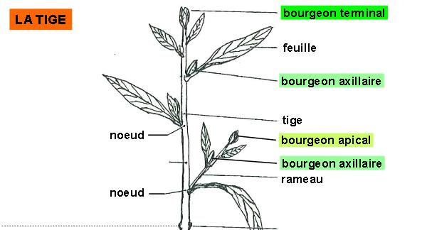 Cours de Biologie Végétale pour SVT S2 - Ch3