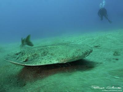 Die Engelhai an der Playa de las Teresitas werden gezählt