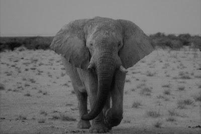 Elephant, black and white, Africa