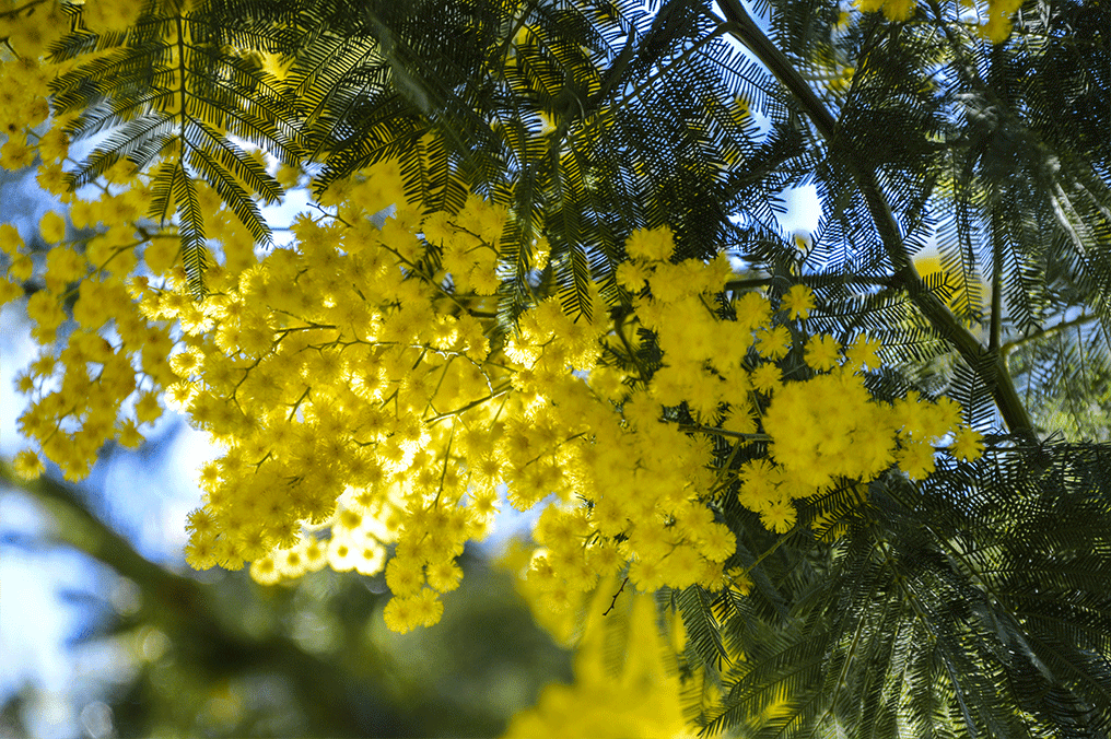 Mimosas massif du Tanneron