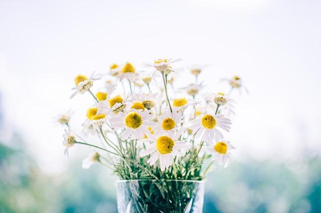 hinh anh hoa cuc trang