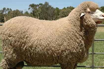 Cara Beternak Domba Merino bagi Pemula