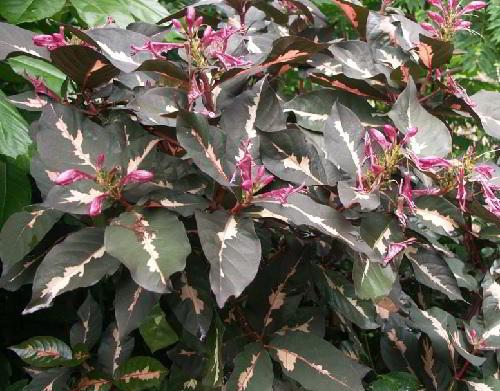 manfaat dan khasiat daun wungu untuk kesehatan