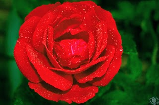 Cramer Imaging's professional quality nature photograph of a classic red rose with water droplets against a green background in Pocatello, Bannock, Idaho