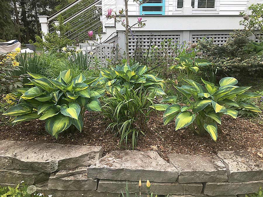 High Season For Hostas The Impatient Gardener