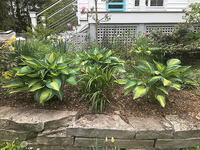 'June' hosta with 'Stripe it Rich' Hakonechloa after dividing