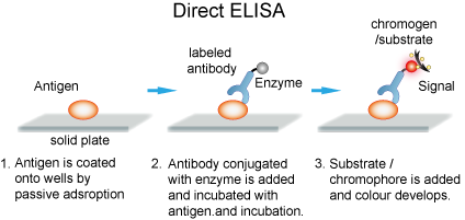 ELISAs can provide a useful measurement of antigen or antibody concentration.
