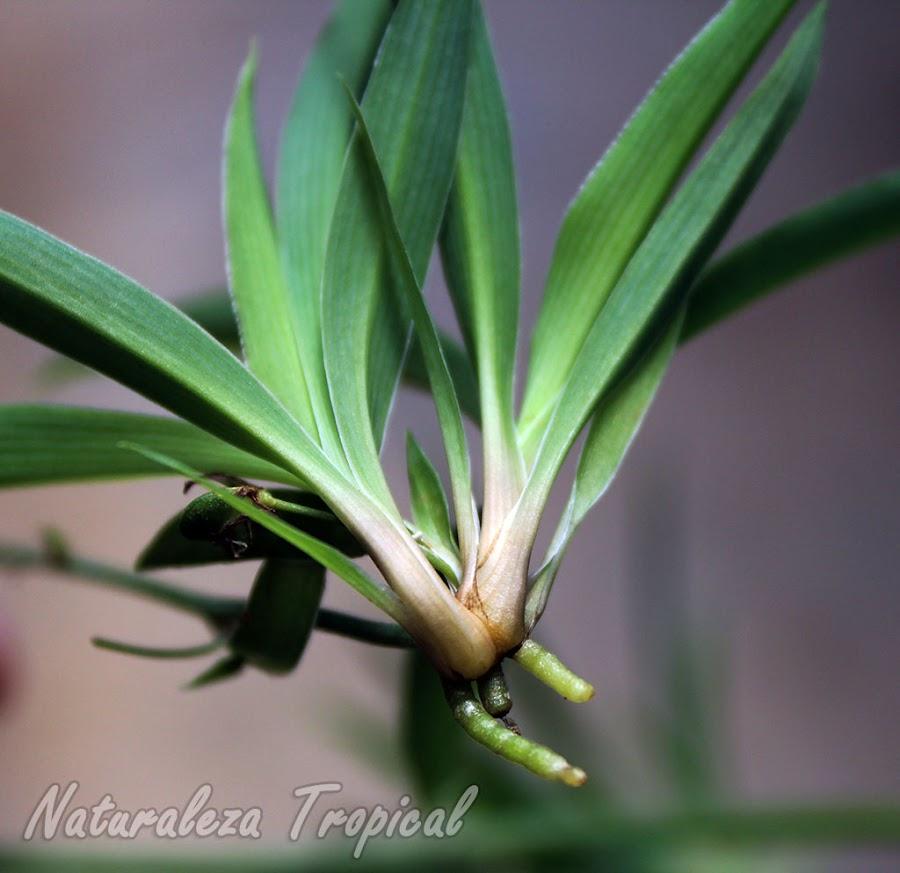 Planta hija en formación con raíces de una Cinta o Lazo de Amor, Chlorophytum comosum