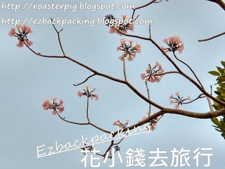 粉色風鈴木