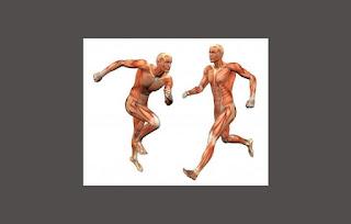 Pengertian, Struktur dan Fungsi Otot Pada Manusia