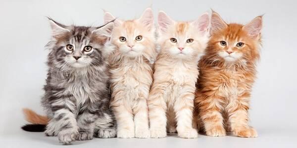 Cara Menumbuhkan Bulu Kucing dengan Cepat