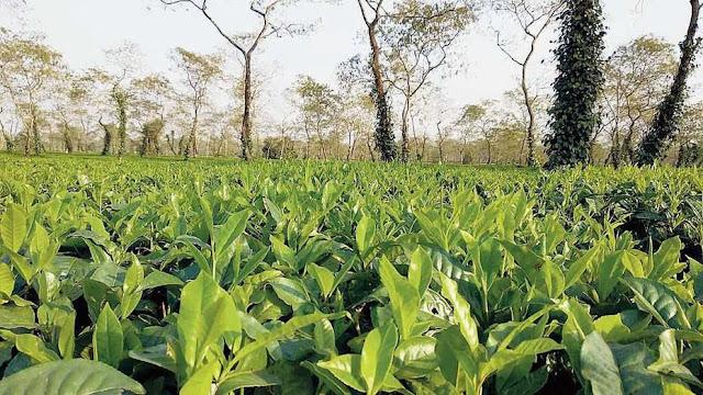 Darjeeling Tea seeks export relief