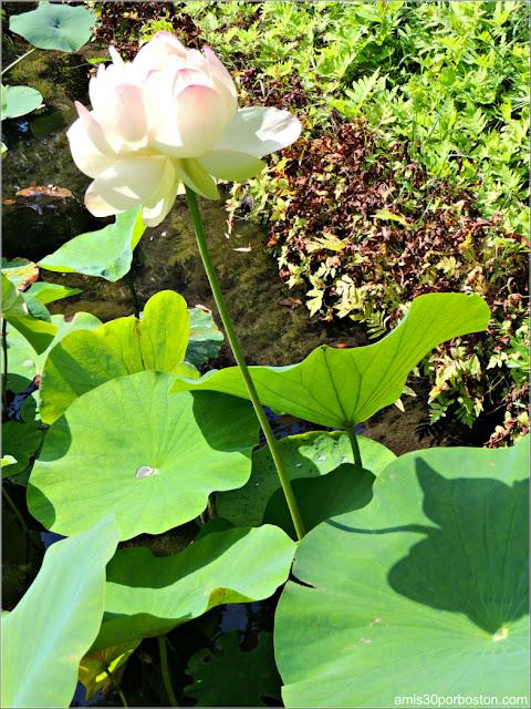 Jardín Japonés del Jardín Botánico de Montreal: Flor de Buda