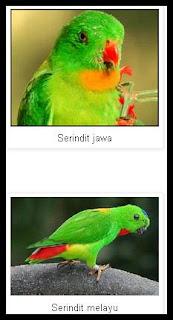 Mengenal jenis burung serindit