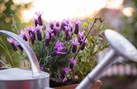 Drops essential lavender oil and sunshine