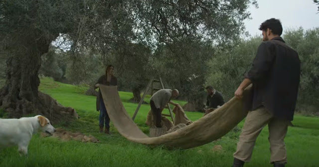Ένα εκπληκτικό φιλμ για το μάζεμα της ελιάς και την ελληνική παράδοση αιώνων (βίντεο)