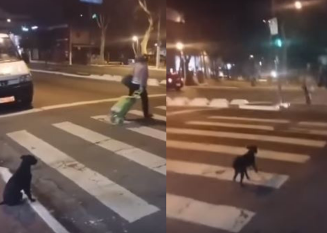 Stray Dogs Are Better at Crossing the Street Than People