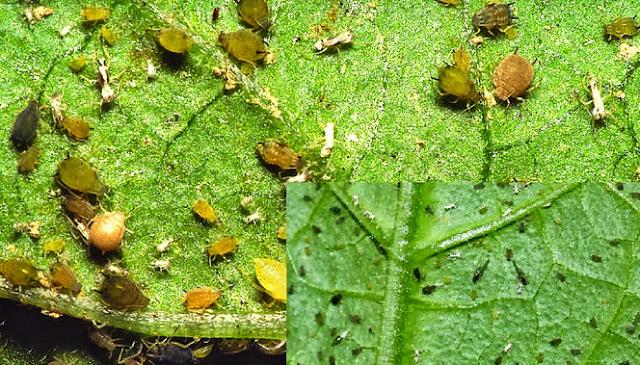 penyakit pada tumbuhan yang disebabkan oleh virus, penyakit pada tumbuhan yang disebabkan oleh bakteri, penyakit pada tumbuhan yang disebabkan oleh hama