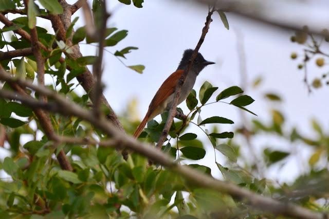 Terpsiphone viridis