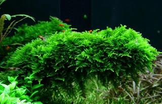 Tanaman Aquascape yang Bisa Hidup Tanpa CO2
