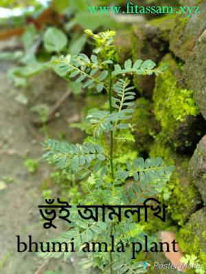 ভুঁই আমলখিৰ উপকাৰিতা আৰু ব্যৱহাৰ- bhumi amla plant benefits and uses in Assamese