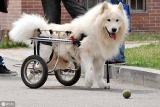 cães cadeirantes fisioterapia