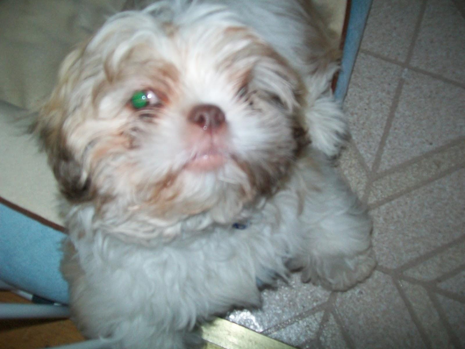 Cute Boston Terrier Wallpaper Cute Dogs Shih Tzu
