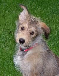Corgi Irish Wolfhound Mix Temperament, Size, Lifespan, Adoption, Price