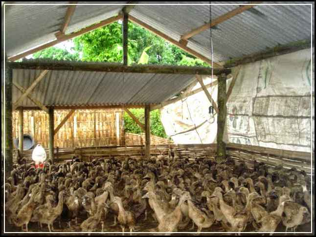 6 Kriteria Kandang Bebek Paling Ideal Untuk Usaha Ternak Bebek
