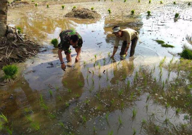 Serka Gunawan Bersemangat Menanam Padi di Dusun VI Pantai Cermin