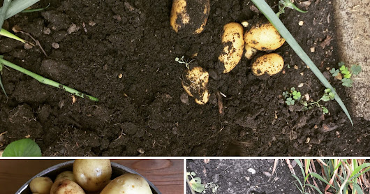 Beginner Gardening Diaries 1 - How I grew Potatoes for the first time