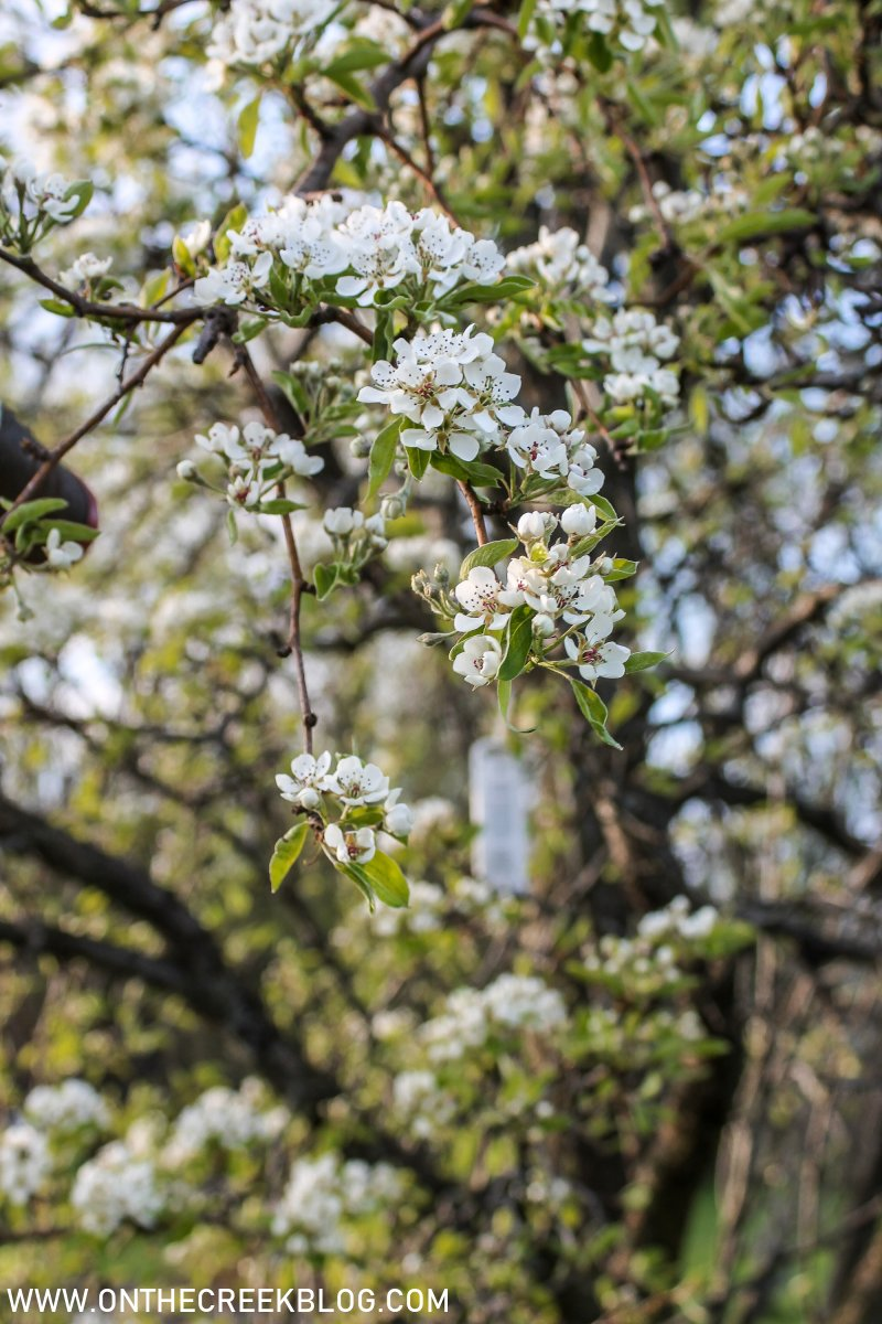 Pear Blossoms + Bartlett Pear Recipes | On The Creek Blog