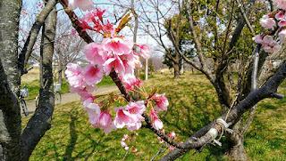早咲きの桜 千葉市の花見川で