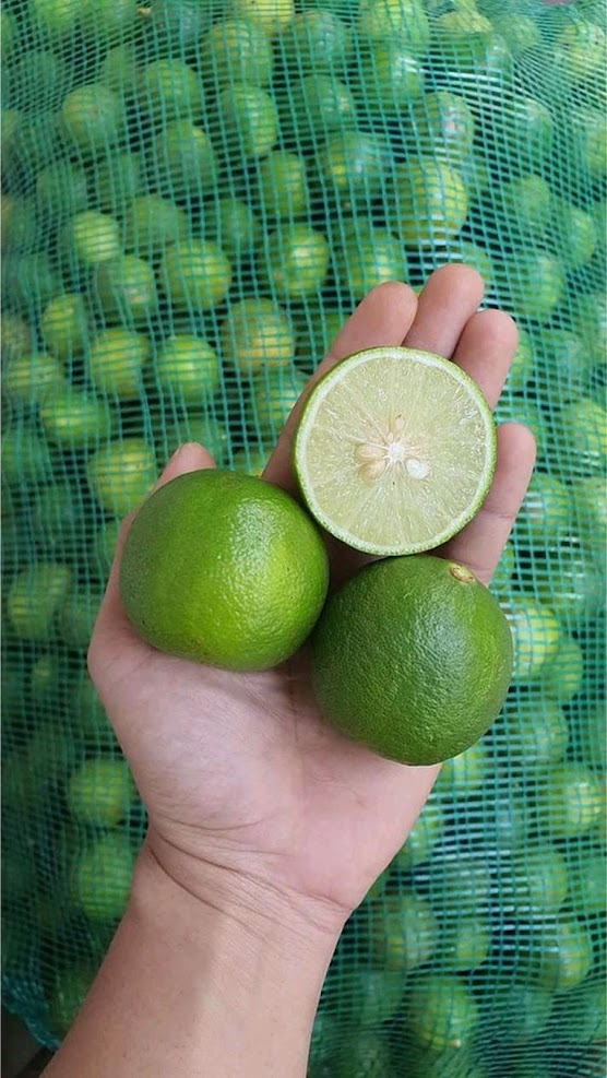 10 bibit jeruk nipis Tanjungbalai
