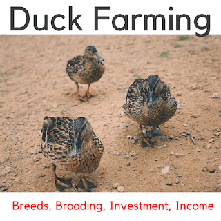 duck farming,farming,duck farming for eggs,how to start duck farming,ducks,raising ducks,duck farming in india,commercial duck farming,poultry farming,layer duck farming,farming cock,duck farming in kerala,duck layer farming,raising ducks for eggs,ducks for meat,farming fish,easy step in duck farming,duck and fish farming,duck farming in rice field,duck farming philippines,quail farming,farming ideas,happy farming,layer farming,duck farming in west bengal,farming fish-cock,indian farming