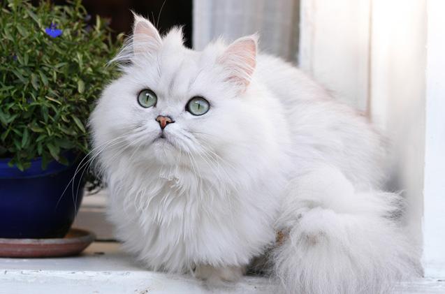 قطط شينشيلا