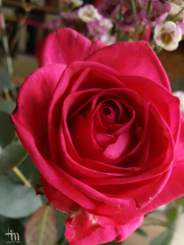 punainen ruusu - red rose