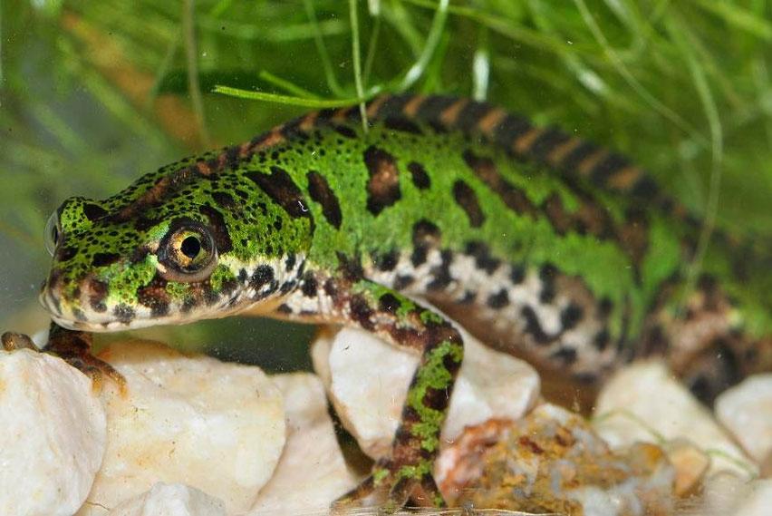 Amphibians: Southern Marbled Newt - Triturus pygmaeus
