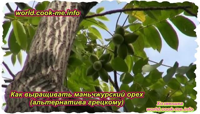 Как выращивать маньчжурский орех (альтернатива грецкому)