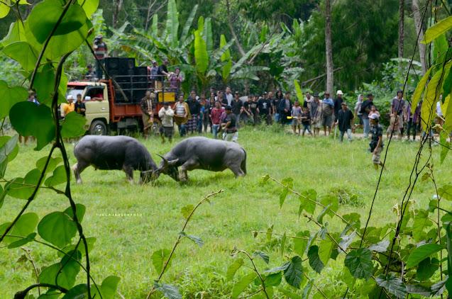 Adu Tedong di pedesaan Toraja Jelajah Tana Toraja || JelajahSuwanto