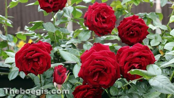 Benefits of the Benefits of Roses for Health and Beauty