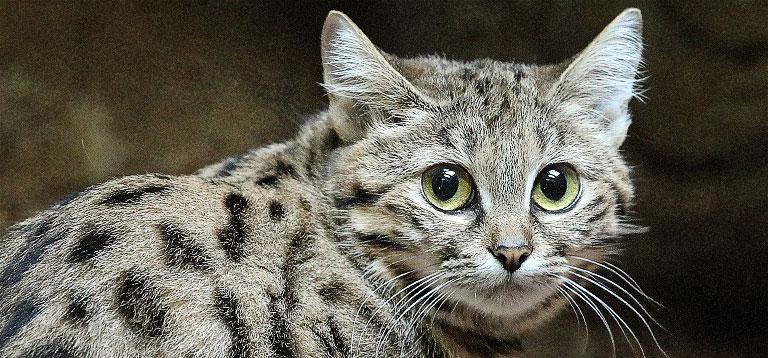 Ο τίτλος του φονικότερου αιλουροειδούς στον κόσμο ανήκει σε μία γάτα μήκους 40 εκατοστών (βίντεο)