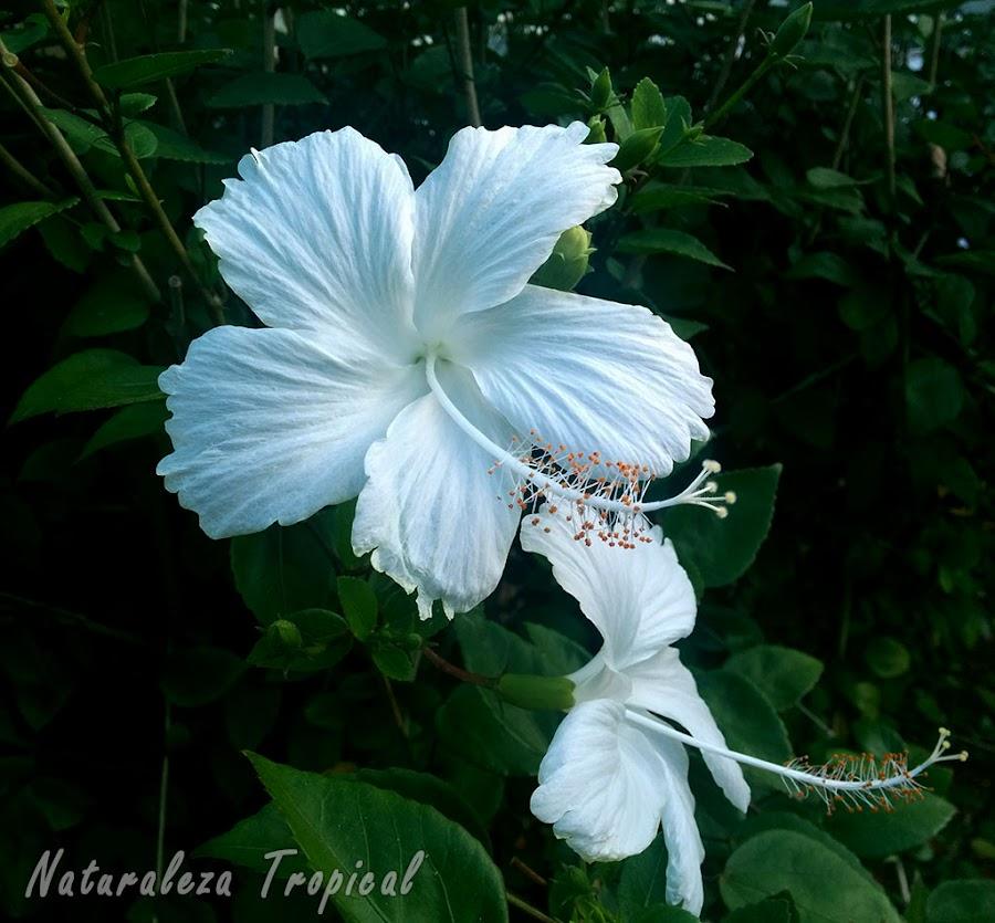 Variedad completamente blanca de la flor de un Hibisco, género Hibiscus