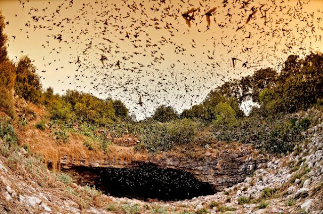 चमगादड़ उल्टा क्यों लटकता है। चमगादड़ के उलटे लटकने का कारण |why bats hang upside down in Hindi