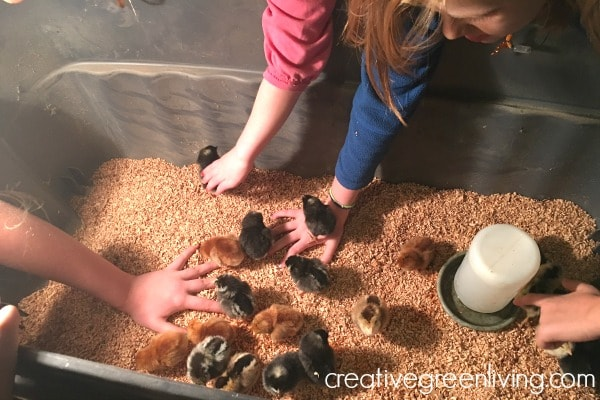 How to care for baby chicks in a brooder