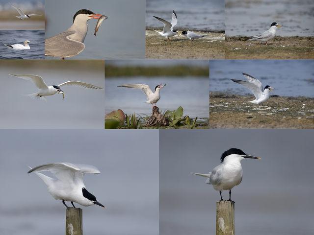 تحميل 10 صور لطائر الخرشنة القطبية بجودة عالية