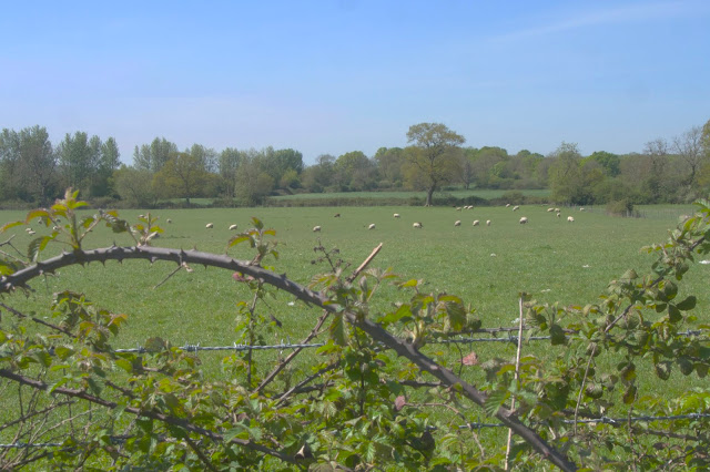 sheep in the distant field