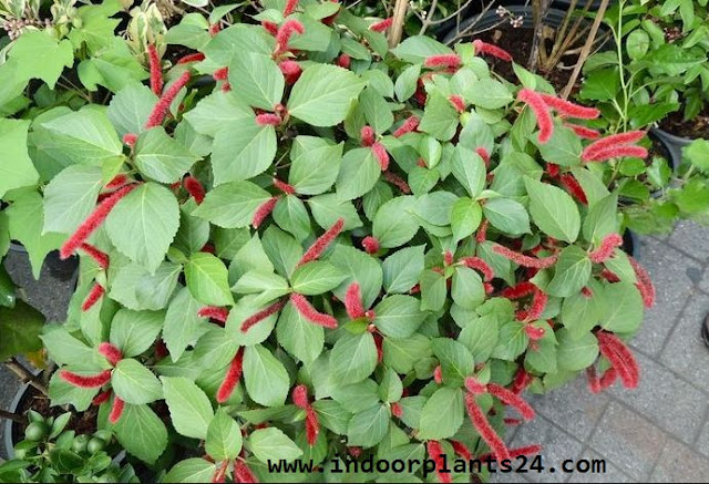 Plants Profile for Acalypha hispida