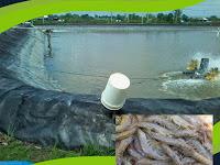 Panduan Lengkap Budidaya Udang Vaname dengan Mulsa Plastik