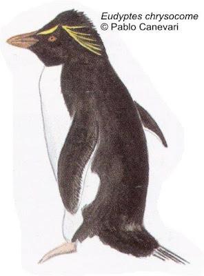 Pingüino de penacho amarillo Eudyptes chrysocome